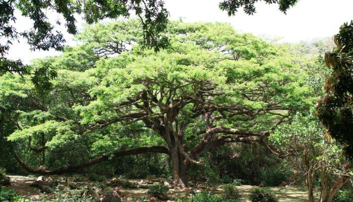 Le Zamana, arbre européen de l'année 2017 ?