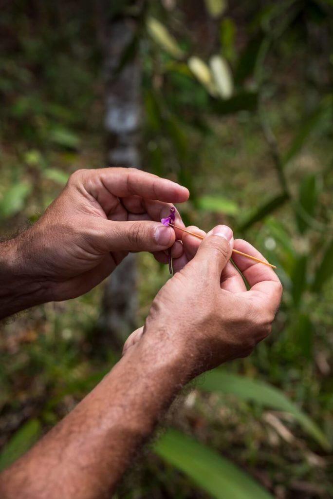 Griffage de la vanille - Cédric Coutellier - Guadeloupe