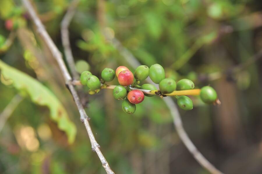 Plant de caféier - Café Chaulet - Guadeloupe