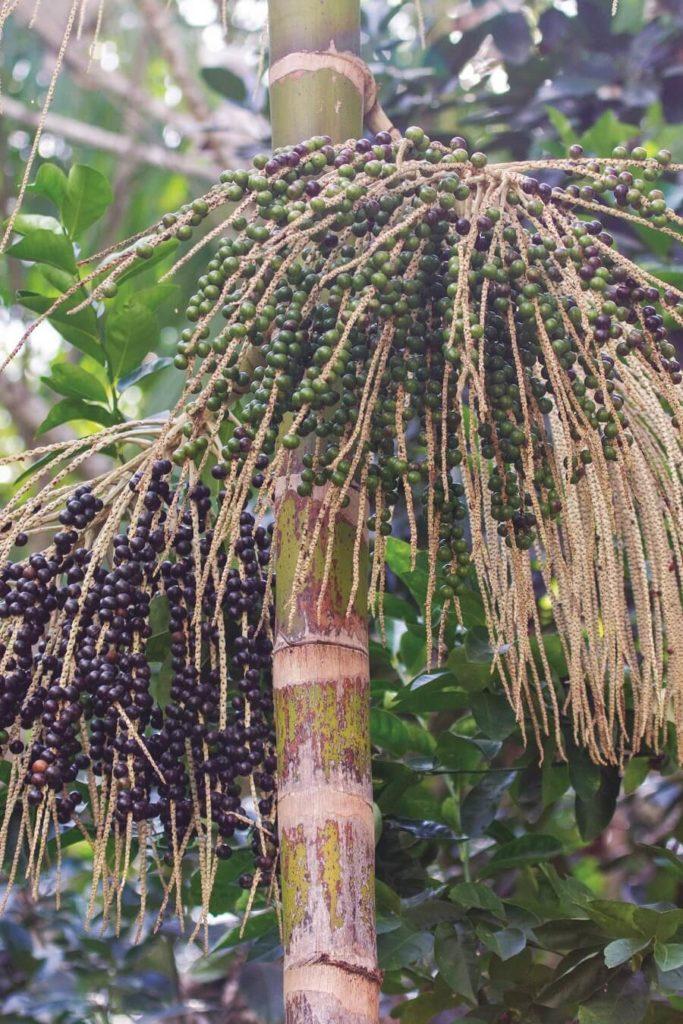 Graines de wassai - Guyane