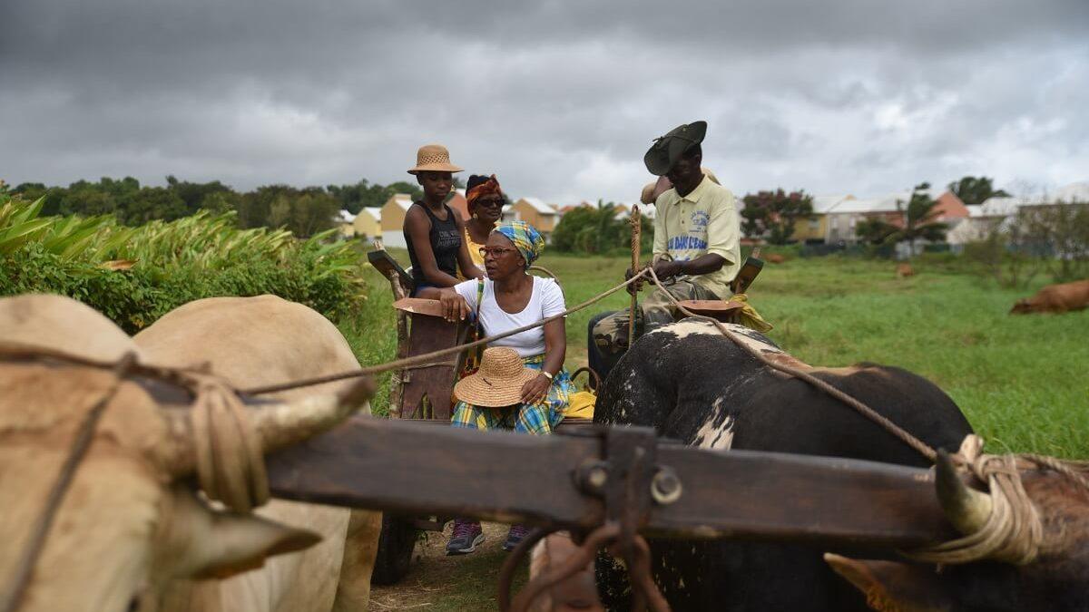 Pitt à coqs, charrettes à boeuf : trésor patrimonial de la Guadeloupe