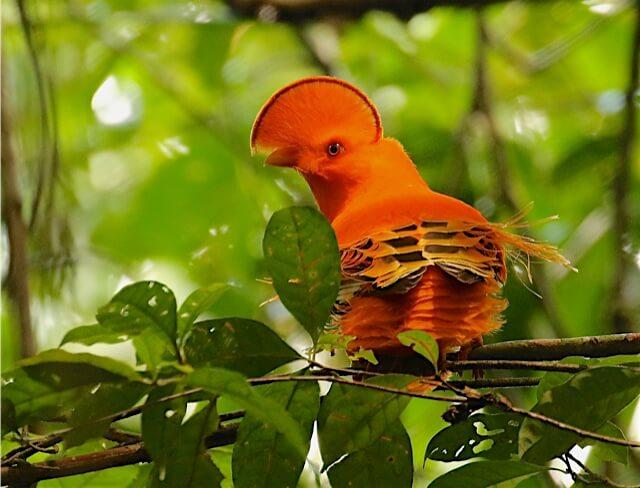 Oiseau Coq de Roche - Marais de Kaw